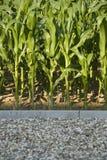 Corn. A cornfield at the parking lot Stock Photos