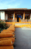 Corn. Family farmers in western China ,many corns in Yard on autumn Stock Image