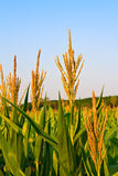 Corn agaimst blue sky Stock Photo