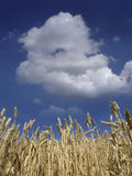 Corn against the sky Stock Image