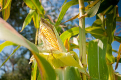 Corn against the sky Stock Photography
