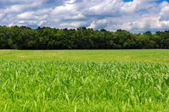 Corn on an agricultural field. Stock Photography