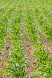 corn agricultural plot Stock Photography