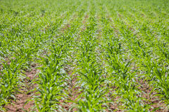 corn agricultural plot Royalty Free Stock Images