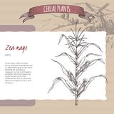Corn aka Maize or Zea mays sketch. Cereal plants collection. Corn aka Maize or Zea mays sketch with field landscape. Cereal plants collection. Great for bakery Stock Photo