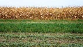Corn and alfalfa Royalty Free Stock Photo