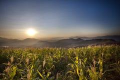 Corn along the way. Royalty Free Stock Photo