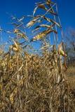 Corn on the autumn field Royalty Free Stock Photos