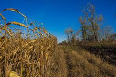 Corn on the autumn field Stock Photography