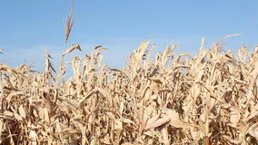 Corn autumn scene Stock Images