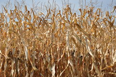 Corn in the autumn sun Royalty Free Stock Photography
