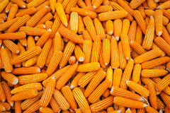 Corn available or sent to his clients. Royalty Free Stock Photos