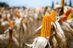 Corn available or sent to his clients. Royalty Free Stock Image