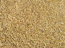 Corn background. Mixed corn - wheat and barley, close up Stock Photo