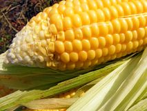 Corn background Royalty Free Stock Photo