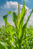 Corn on the background of field and sky. Corn closeup on a background the field and blue sky with clouds Stock Image
