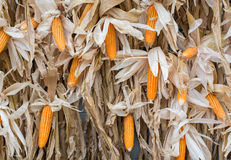 Corn background Royalty Free Stock Photography