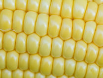 Corn background Stock Image