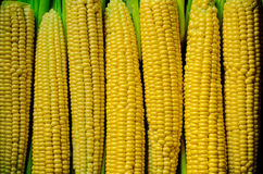Corn background. A lot of yellow corns as a background Royalty Free Stock Images