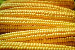 Corn background. A lot of yellow corns as a background Royalty Free Stock Photo