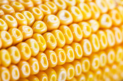 Corn background Royalty Free Stock Photo