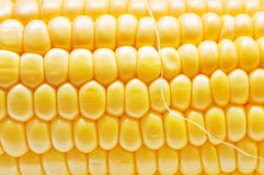 Corn background texture Stock Images