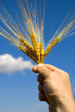 Corn barley. Hand with corn of summer harvest over sky stock image