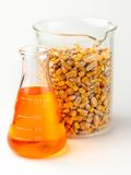 Corn based ethanol. Flask of golden ethanol and beaker filled with corn shot in lab on white background with soft shadow Stock Images