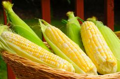 Corn basket. Basket of fresh sweetcorn, some husked, some not Royalty Free Stock Images