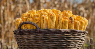 Corn in a basket Royalty Free Stock Photography