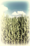 Corn in  Bavaria Stock Photography