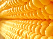 Corn. Beautiful ear of corn under magnification royalty free stock image