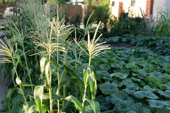 A corn bed with cobs and buds grows in the summer next to the pumpkin fields royalty free stock image