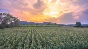 Corn begins to flower in corn fields. Royalty Free Stock Image
