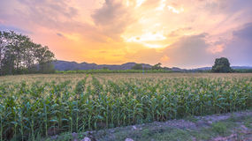 Corn begins to flower in corn fields. Royalty Free Stock Photography