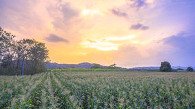 Corn begins to flower in corn fields. Royalty Free Stock Photos