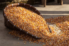 Corn being dried on the ground Stock Photography