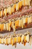 Corn being dried in the sun Royalty Free Stock Photo