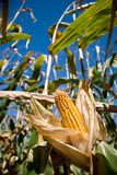 Corn being pulled open with blue fresh background. Great representation of natural fall occurrences. Seasonal image Stock Photo
