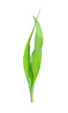 Corn bine Royalty Free Stock Photography