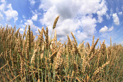 Corn and blue sky Royalty Free Stock Image