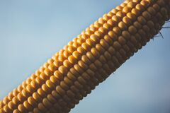 Corn With Blue Sky during Daytime Royalty Free Stock Photos