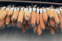 Corn bonzi Royalty Free Stock Photography