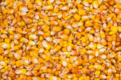 Corn. Bright yellow ripe corn grain Stock Photography