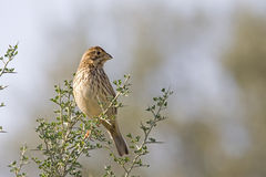 Corn Bunting Stock Images