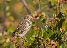 Corn Bunting. Is perching on a tree branch royalty free stock image