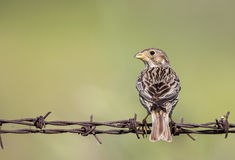 Corn bunting on barbed wire Stock Photography