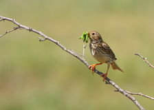 Corn bunting on branch Royalty Free Stock Images
