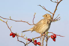 Corn Bunting on branch rose hips Royalty Free Stock Photos