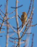 Corn Bunting on branch with sprouts Royalty Free Stock Photo